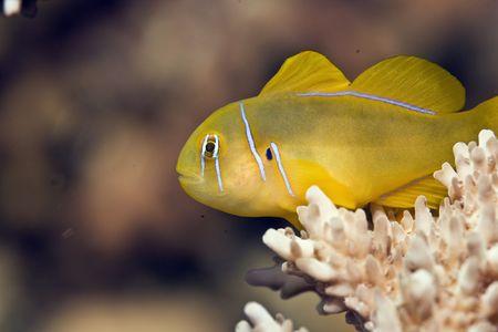 goby: cedro Goby corallo (gobiodon citrinus) Archivio Fotografico
