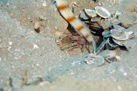 goby: a strisce rosso-Goby gamberetti (Alpheus ochrostriatus)