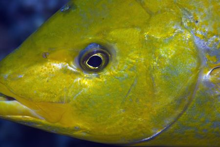 orangespotted trevally (carangoides bajad) photo