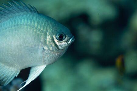 damselfish: pale damselfish (amblyglyphidodon indicus)