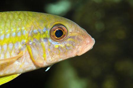 goatfish: yellowfin goatfish (mulloidichthys vanicolensis)    Stock Photo