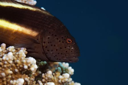 freckled: freckled hawkfish (paracirrhites forsteri)    Stock Photo