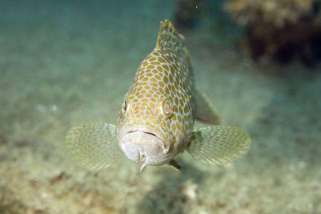 areolate grouper (epinephelus areolatus) photo