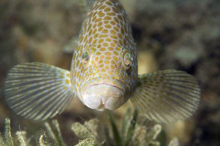 epinephelus: areolate grouper (epinephelus areolatus)