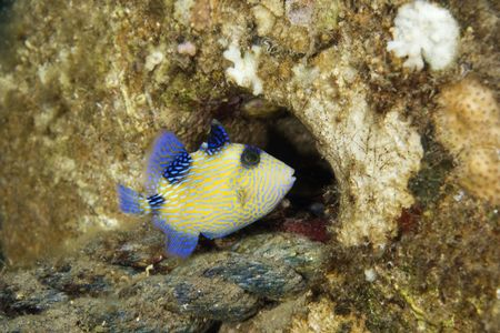 triggerfish: blue triggerfish (pseudobalistes fuscus) juv. Stock Photo