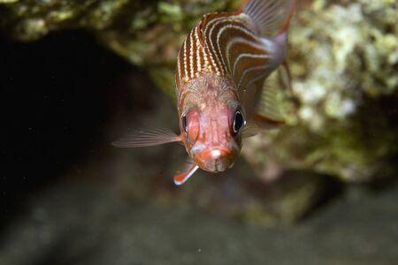redcoat squirrelfish (sargocentron rubrum) photo