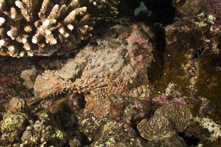 stonefish (synanceia verrucosa) photo