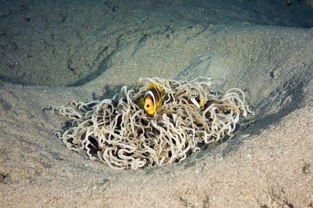 leathery: Red sea anemonefish (Amphipiron bicinctus) in a leathery anemone
