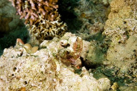 scorpionfish: bearded scorpionfish (scorpaenopsis barbatus)