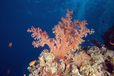 softcoral: softcoral (dendronephthya hemprichi)