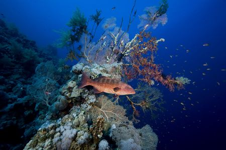 Red sea coralgrouper (Plectropomus pessuliferus) photo