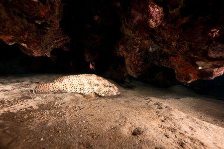 epinephelus: greasy grouper (epinephelus tauvina)