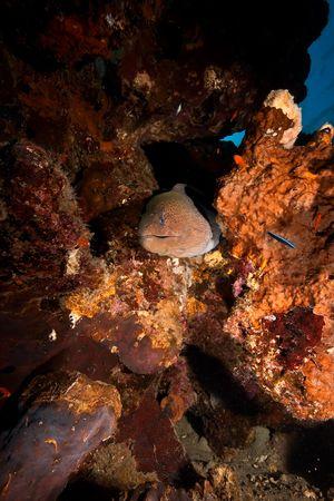 napoleon wrasse: giant moray (gymnothorax javanicus)