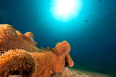 sarcophyton: rough leather coral (sarcophyton glaucum) Stock Photo