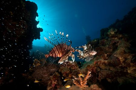common lionfish: common lionfish (pterois miles)