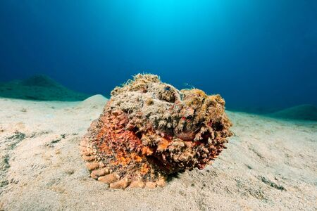 stonefish: stonefish (synanceia verrucosa)