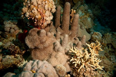 softcoral: softcoral