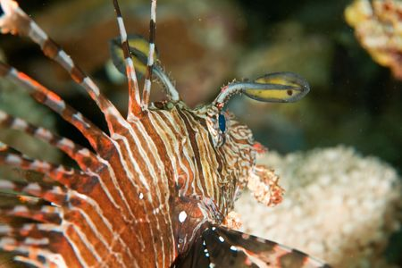 lionfish (pterois miles) Stock Photo - 4375973