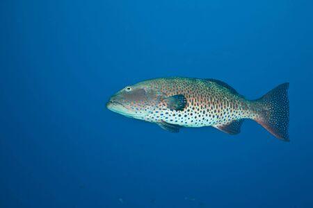 coralgrouper: coralgrouper (Plectropomus pessuliferus)