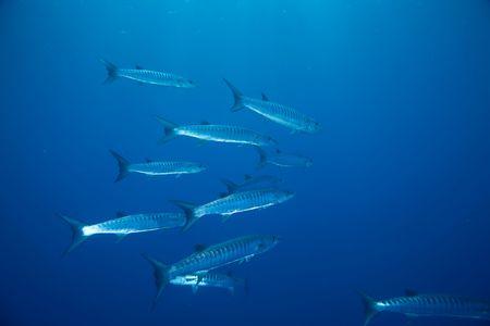 barracuda: great barracuda (sphyraena barracuda) Stock Photo