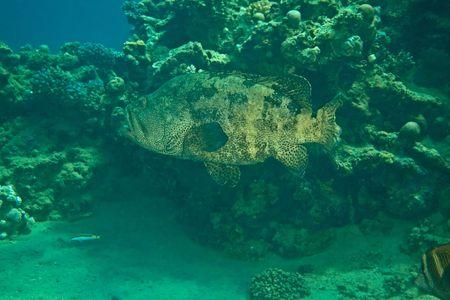 epinephelus: potato grouper (epinephelus tukula)