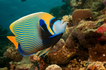 softcoral: emperor angelfish (pomacanthus imperator)