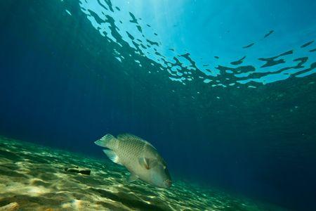 napoleon fish: ocean and napoleon wrasse