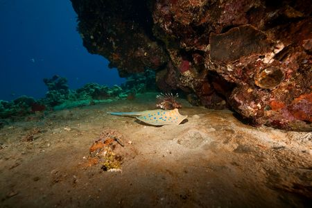 bluespotted: coral and bluespotted stingray