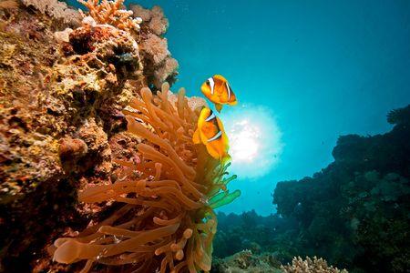 anemonefish (amphiprion bicinctus) and bubble anemone (entacmaea qudricolor) Banque d'images