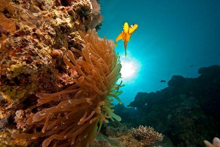 anemonefish (amphiprion bicinctus) and bubble anemone (entacmaea qudricolor) photo