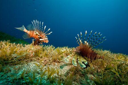 lionfish (pterois miles) photo