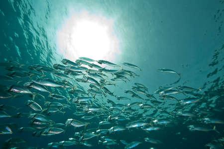 striped mackerel (rastrelliger kanagurta) photo