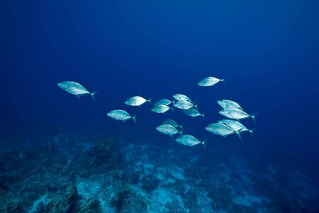 ocean, coral and trevally photo