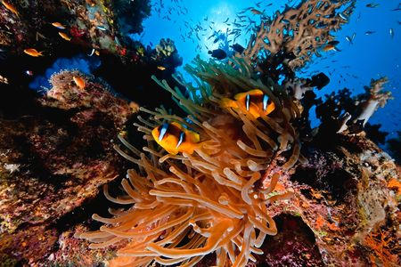 softcoral: coral and anemonefish