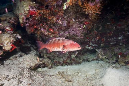 coralgrouper: ocean, coral and coralgrouper Stock Photo