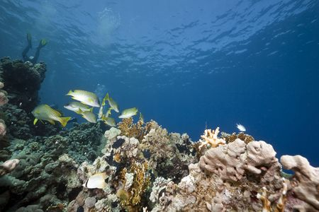 blackspotted: ocean, coral and blackspotted sweetlips