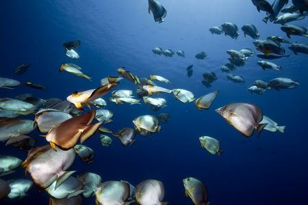 softcoral: ocean and orbicular spadefish Stock Photo