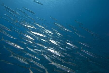 barracuda: ocean and great barracuda