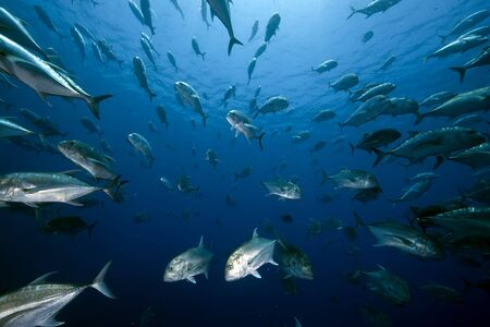 softcoral: ocean and giant trevally