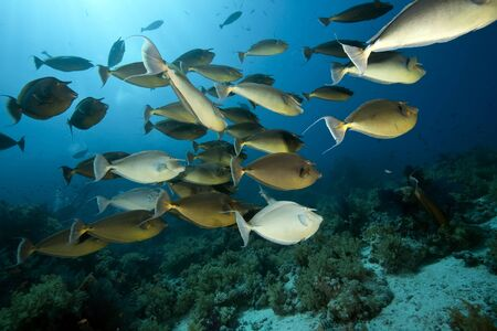softcoral: ocean, sun and unicornfish Stock Photo