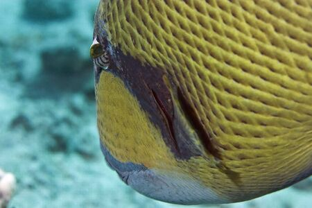 softcoral: titan triggerfish
