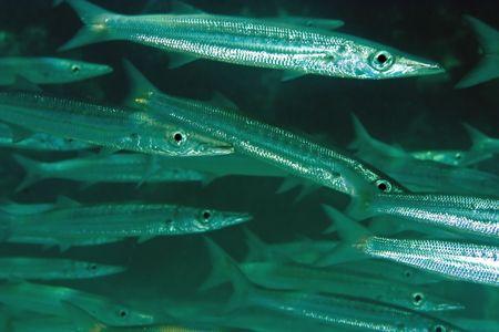 barracuda: yellowtail barracuda