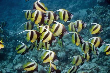 bannerfish: bannerfish
