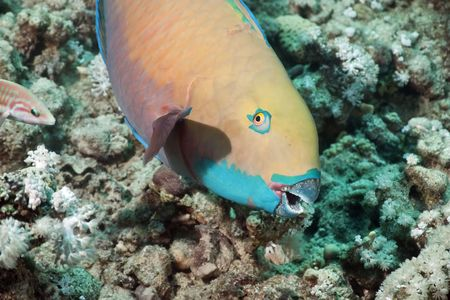softcoral: parrotfish