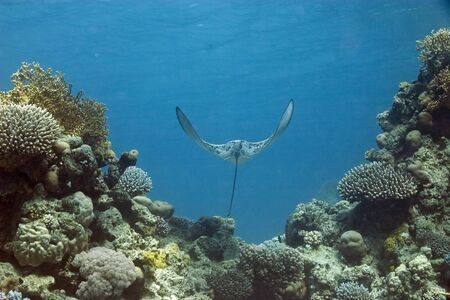 softcoral: eagle ray Stock Photo