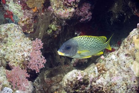 blackspotted: coral and blackspotted sweetlips