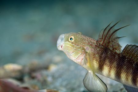 goby: tailspot Gobiidae