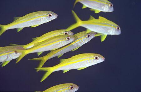 yellowfin goatfish photo