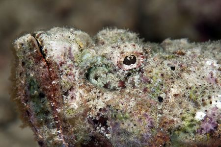 devil scorpionfish photo