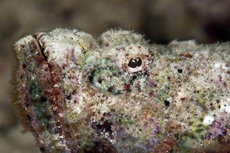 scorpionfish: devil scorpionfish Stock Photo